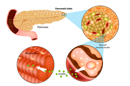 Illustration for Illustration of insulin production in the pancreas. Metabolic actions of insulin in striated muscle. - Royalty Free Image