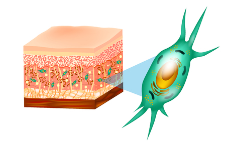 Illustration pour Fibroblast and Human skin structure (Muscles, Fat cell, Hyaluronic acid, Elastin, Collagen, Fibroblast). - image libre de droit