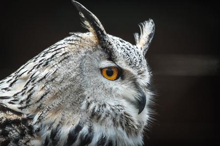 Photo for Close portrait of Siberian eagle owl (Bubo bubo sibiricus).  - Royalty Free Image
