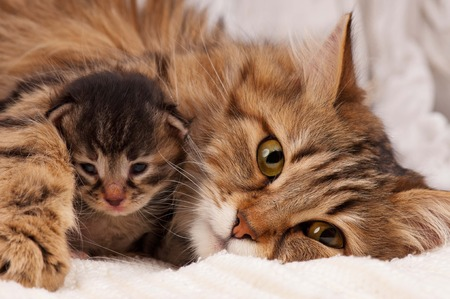 Photo for Lovely siberian cat with newborn kitten close-up - Royalty Free Image
