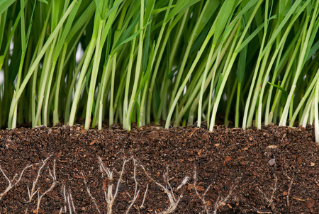Photo pour Bright green grass with roots in the organic soil. Focus on the roots - image libre de droit