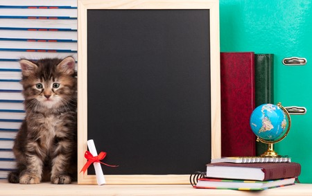 Tired siberian kitten with a diploma and school accessories waits for vacation