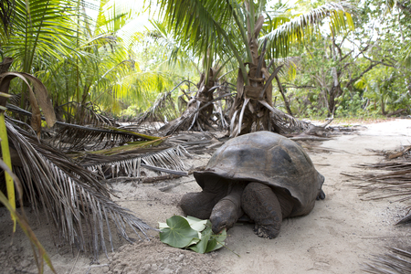 Photo for Closeup of a giant tortoise at Curieuse island, Seychelles, Indian Ocean - Royalty Free Image