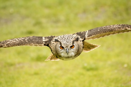 Photo for picture of a flying eagle owl - Royalty Free Image