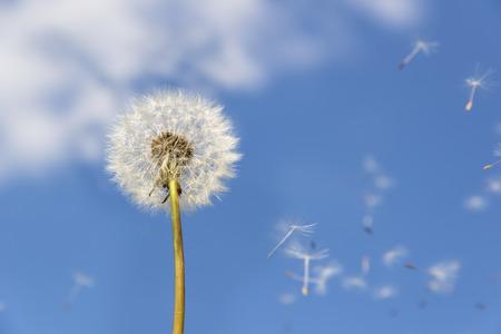 Foto de Image of a dandelion against blue sky with flying pollen - Imagen libre de derechos