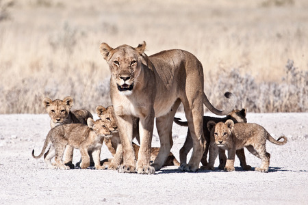 Photo for lioness and cubs - Royalty Free Image