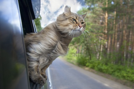 Foto de Head Cat  out of a car window  in motion. summer - Imagen libre de derechos