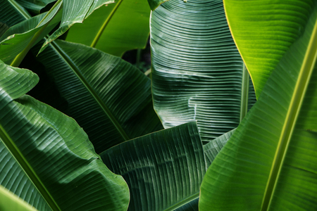 Foto de Big green banana leaves in Asia (Thailand) - Imagen libre de derechos