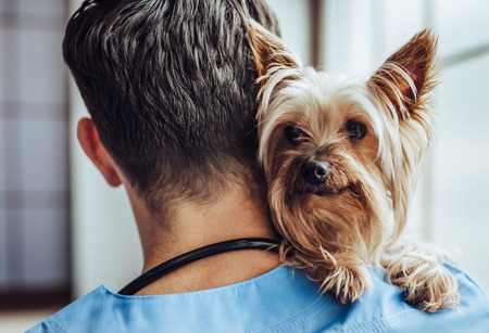 Foto de Handsome male doctor veterinarian at clinic with little dog Yorkshire Terrier. - Imagen libre de derechos