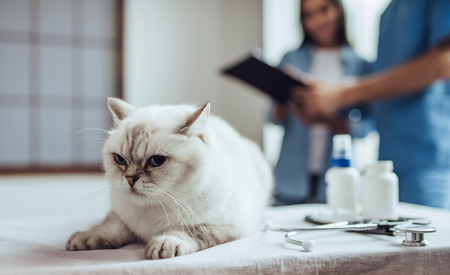 Foto de Handsome doctor veterinarian at clinic is examining cute cat while his owner is standing nearby. Cute cat is lying on vet table on the foreground. - Imagen libre de derechos