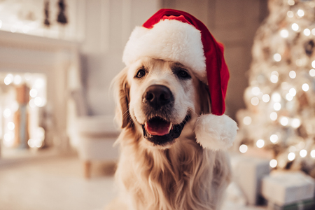 Foto de Merry Christmas and Happy New Year! Cheerful dog labrador is sitting in Santa Claus hat. Golden retriever is waiting for the holiday at home. - Imagen libre de derechos