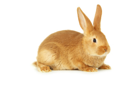 Photo for Young red rabbit isolated on white - Royalty Free Image