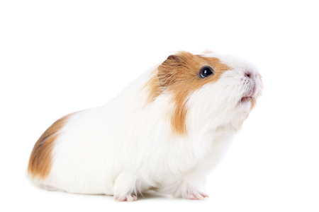 Foto de Guinea pig isolated on white background - Imagen libre de derechos