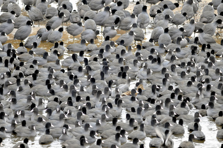 Coots are medium-sized water birds They are collecting into herds because together it is easier for them to find the food and warm oneself up