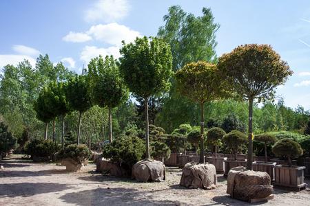 Photo pour Trees with burlap root balls ready for transplanting - image libre de droit