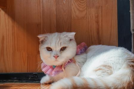 Photo pour Beautiful munchkin cat with white and grey color hair - image libre de droit