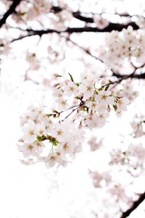 Photo for Cherry blossom - Royalty Free Image