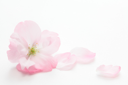 Photo pour Closeup of Cherry blossom, Asahiyamazakura - image libre de droit