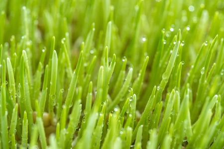 Photo pour Macro shot of  Freshly grown organic Wheatgrass ready to juice - image libre de droit