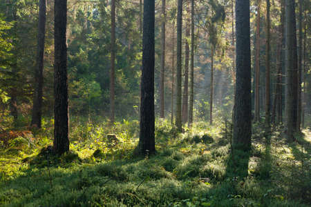 Photo for Autumnal morning with sunbeams entering forest among pine and spruce trees,Bialowieza Forest,Poland,Europe - Royalty Free Image