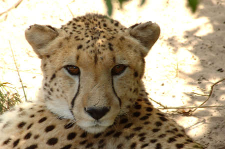 Cheetah (Jagluiperd) head portrait watching other Cheetahs in a game park in South Africa