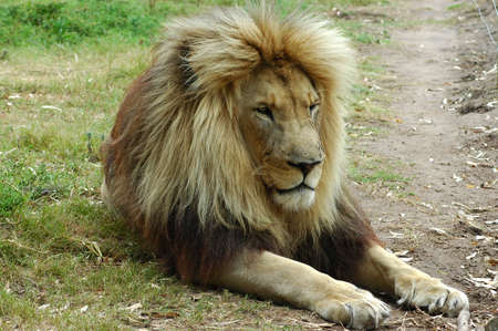 A big lazy inactive resting lion head portrait with big mane being bored and watching other lions in a game park in South Africa