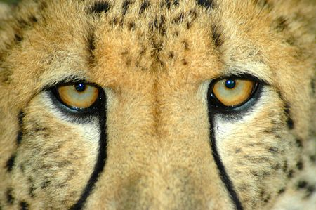 Beautiful eyes closeup of an alert African Cheetah watching other Cheetahs in a game reserve in South Africa