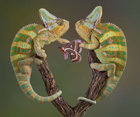 Two veiled chameleon brothers and fighting over a cecropia moth.