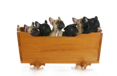 litter of puppies - french bulldog puppies in a cradle - 8 weeks old