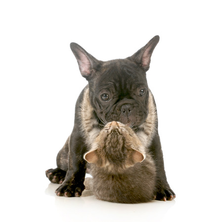 Foto de puppy love - kitten with arms wrapped around french bulldog puppy giving a hug isolated on white background - Imagen libre de derechos
