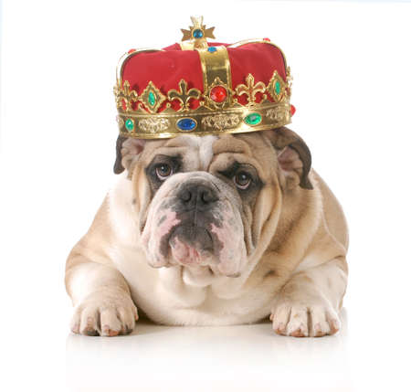 Photo pour dog wearing crown - english bulldog wearing king's crown laying looking at viewer isolated on white background - image libre de droit