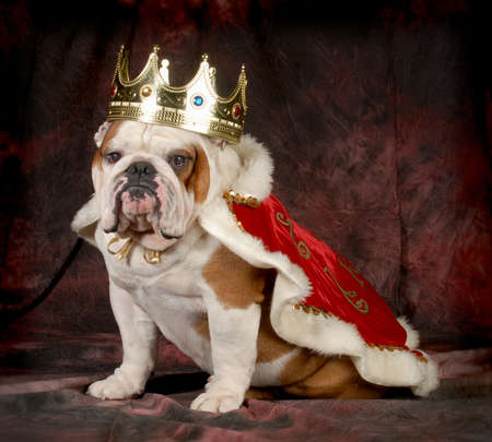 Photo pour spoiled dog - english bulldog dressed up like a king - 4 year old male - image libre de droit