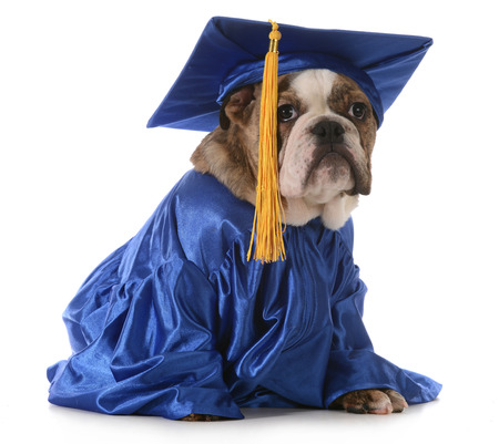 puppy school - english bulldog wearing graduation hat and gown isolated on white background