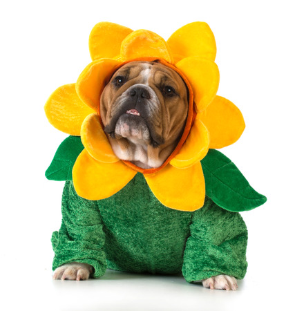 Photo pour dog dressed like a flower - english bulldog wearing sunflower costume on white background - image libre de droit