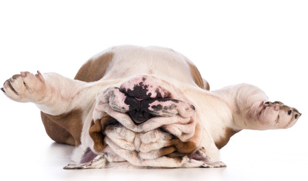 Photo for dog sleeping upside down isolated on white background - bulldog - Royalty Free Image