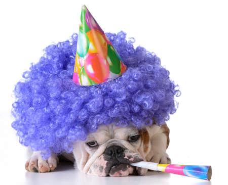 Foto de birthday dog - bulldog wearing clown wig and birthday hat on white background - Imagen libre de derechos