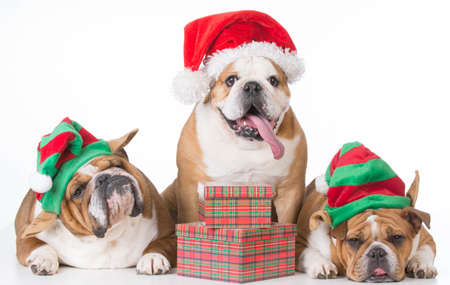 Photo for three bulldogs wearing santa and elf costumes on white background - Royalty Free Image