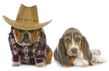 country dogs - english bulldog and basset hound isolated on white background