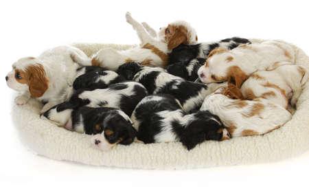 litter of puppies - thirteen cavalier king charles spaniel puppies sleeping - 6 weeks old
