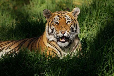 Bengal tiger (Panthera tigris bengalensis) laying in thick grass