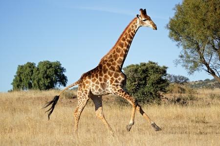 Photo pour Giraffe (Giraffa camelopardalis) running on the African plains, South Africa - image libre de droit