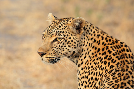 Photo for Portrait of a leopard (Panthera pardus), Sabie-Sand nature reserve, South Africa - Royalty Free Image