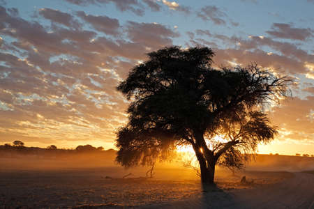 Photo for Sunset with silhouetted tree and dust, Kalahari desert, South Africa - Royalty Free Image