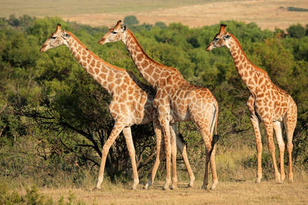 Photo for Giraffes Giraffa camelopardalis in natural habitat, South Africa - Royalty Free Image