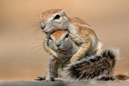 Photo pour Two ground squirrels - Xerus inaurus - playing, Kalahari desert, South Africa  - image libre de droit