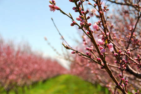 Foto de Rows of blooming peach trees in a spring orchard - Imagen libre de derechos