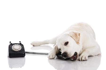 Foto de Beautiful labrador dog talking using a phone - Imagen libre de derechos