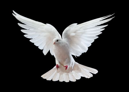 Foto de A free flying white dove isolated on a black background - Imagen libre de derechos