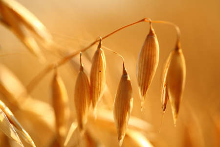 Photo for Golden ears of oat on the field  - Royalty Free Image