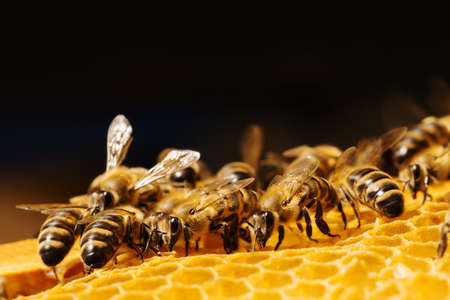 Photo pour Close up view of the working bees on honeycells. - image libre de droit
